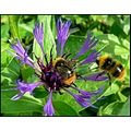 flower insect bumble bee
