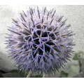thistle from my garden