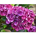 Hydrangea Pink flowers blooms shrub nature