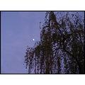 the moon over a weeping willow