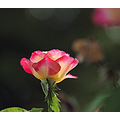 flower rose california