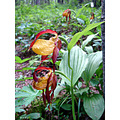 nature summer flowers rare orchids ladys slippers cypripedium calceolus