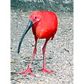 bird red long beak