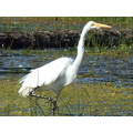 Great Egret wading in Pudding Creek, September 24, 2008