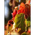dogwood berries fall tree nature