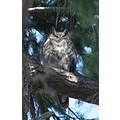 GreatHorned Owl Ladner Reifel Sanctuary BC Canada Birds