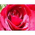 poulets thailand nature closeup flower macro rose red