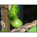 caterpillar luna moth insect nature