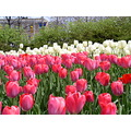 Spring tulip festival in Ottawa....can hardly wait.