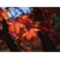 automn leaves red