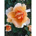 rose orange orangefph garden gardenfph summer light