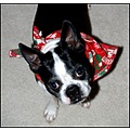 boston terrier named elvis dressed as santa