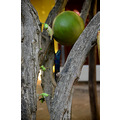 zuiderdam cruise willemstad curacao tree buds fruit