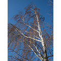bluesky winter white tree wind whitefph