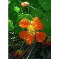 summer flower orange colour