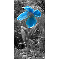 flower blue poppy