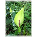 Arum Lily or Lords and Ladies Priest in the pulpit