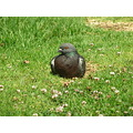 Pigeon bird sitting nature jdahi64