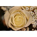 stlouis missouri us usa plant flower macro rose ivory 2006