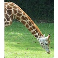 giraffe neck animal