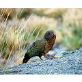 nature alpine parrot nz