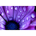 purple drippy flower