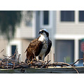 osprey birds bird wildlife