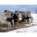 Cows and Snow - Upstate New York