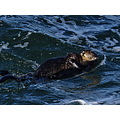 mother sea otter carrying her pup to calmer water