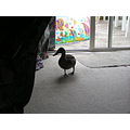 This duck decided to make itself at home first it went for a swim. Next it decided to come inside.