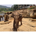 Elephant Close Near Jungle Wildlife Srilanka