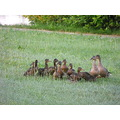 Mom duck Mother protector Ducklings