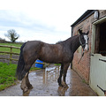 Helen's mare, Mrs Hoggitts, went on a Fun Ride yesterday. She was a bit muddy when she came home!