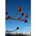 sky rosehips winter snow rose
