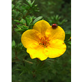 flower yellow ladybug leaves green red nature