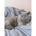 british shorthair cat feline animal pet family milibuhscatclub