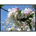 blue sky flower branch cherry tree white purple poland