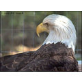 stlouis missouri us usa animal bird sanctuary bald eagle WBS 051708 2008