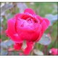 rose flower red