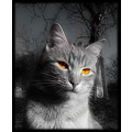 cat bw look animal pet eyes male liescatsclub