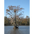 cypress growing in mid river - it survived the hurricane flooding a few years ago when it was tot...