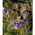flowers meadow cranesbill county durham myrecycling