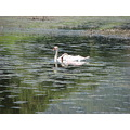 bird waterfowl swan muteswan