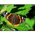 insect butterfly