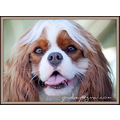 King Charles Spaniel animal pet groom pankey wildspirit