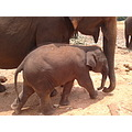 A baby Elephant Cute Wildlife Jungle Srilanka