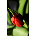 nature flower tulip red green closeup