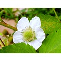 garden flowers wild strawberry flower