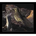 nature wildlife bird pipit meadowpipit feathers