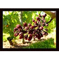 grape fruit summer France wineyard harvest nature